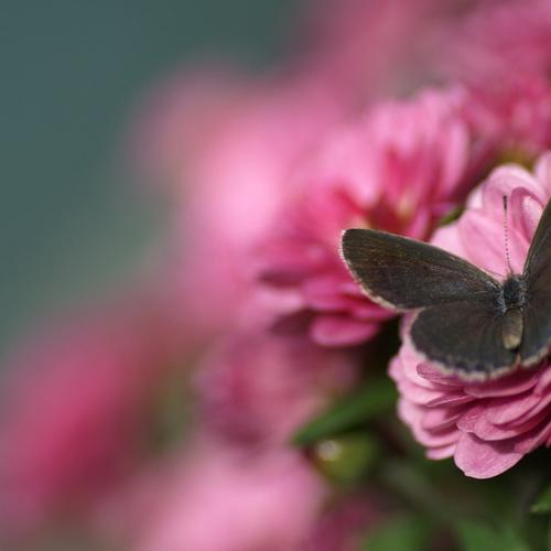Brown butterfly on pink flower macro wallpaper