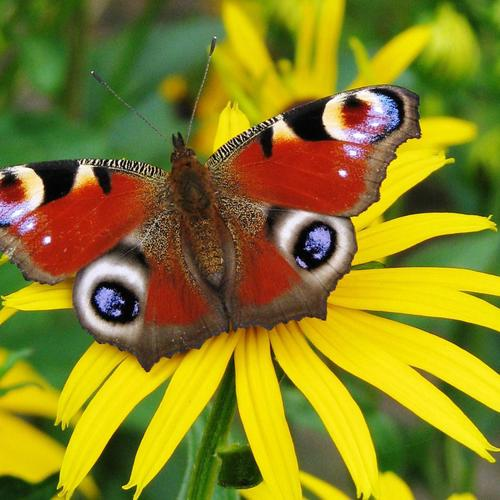 Butterfly on a daisy wallpaper