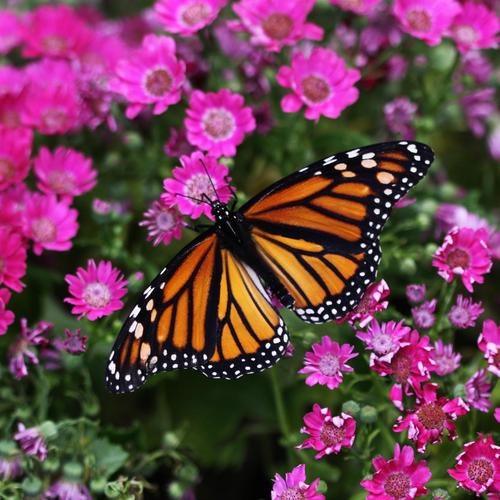 Butterfly on purple flowers wallpaper