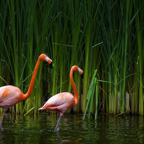 Casal De Flamingos wallpaper