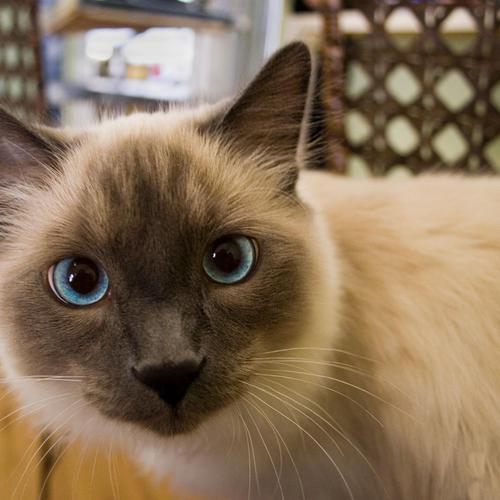 Cat with black face and blue eyes