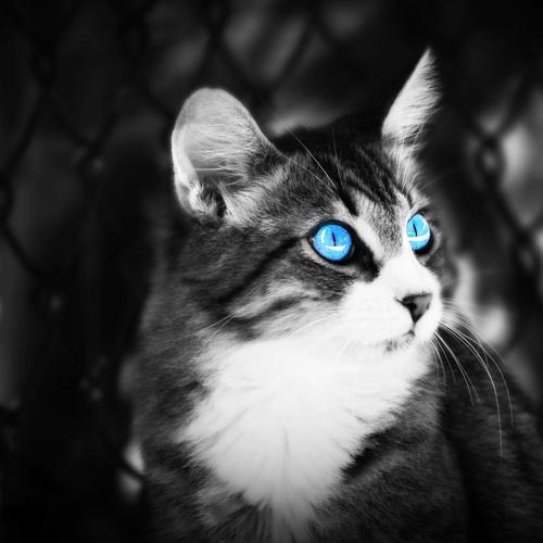 Cat With Blue Eye wallpaper