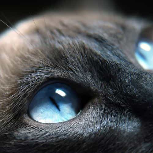 cats blue eye cute