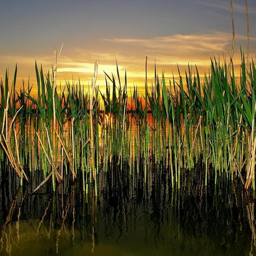 Cattails in pond
