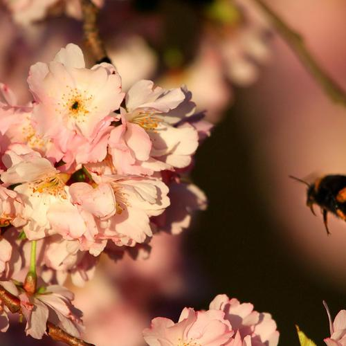 Cherry blossoms and bee macro shot