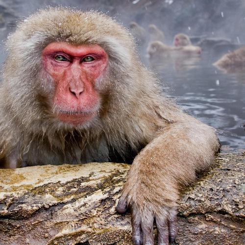 Chilling red face monkey wallpaper