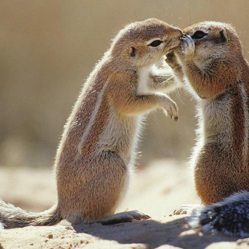 Chipmunk couple