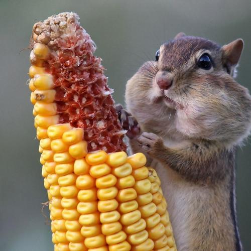 Chipmunk eating corn