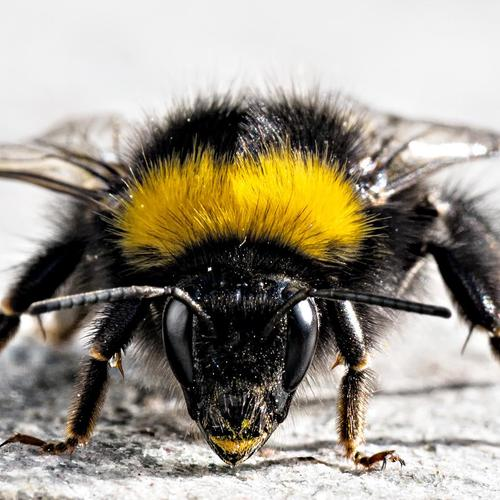 Close up bee
