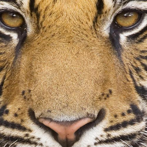 Close up tiger face