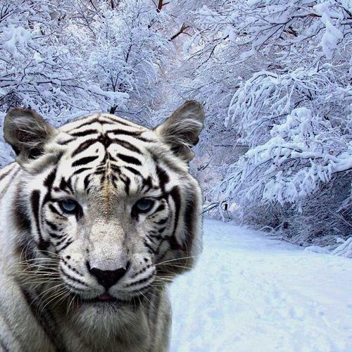Close up white Tiger snow forest wallpaper