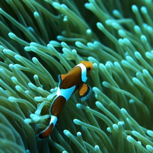 Clown fish in green anemones
