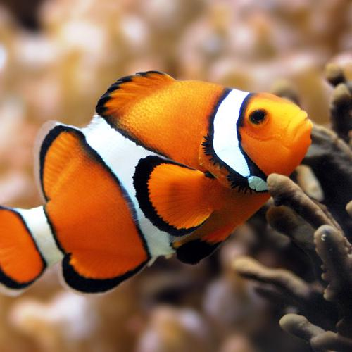 Clown fish in macro shot wallpaper