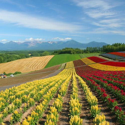 Colorful flower field in Hokkaido landscape wallpaper