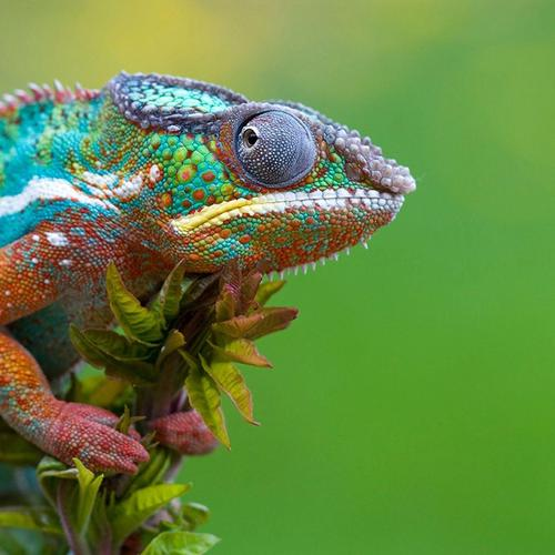Colorful gecko macro