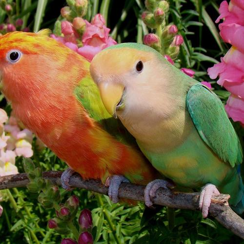Colorful parrot couple wallpaper