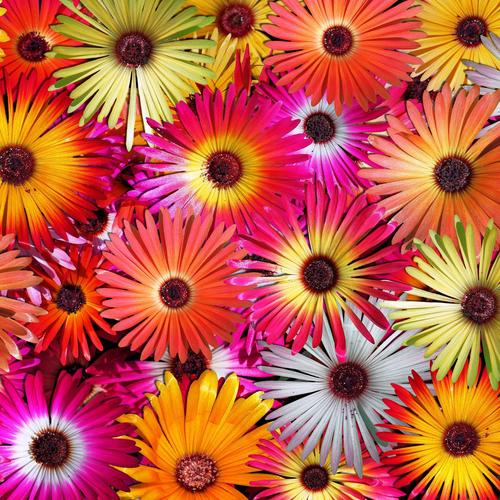 Colorful Splendor flower wallpaper