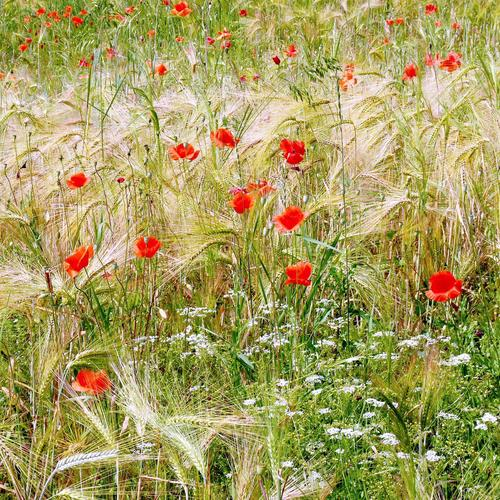 Corn poppies in wheat field