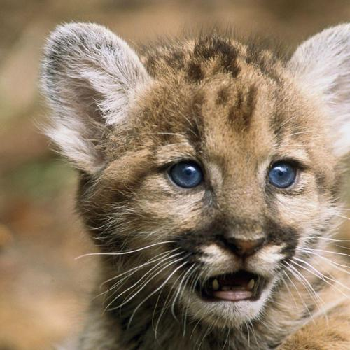 Cougar baby wallpaper