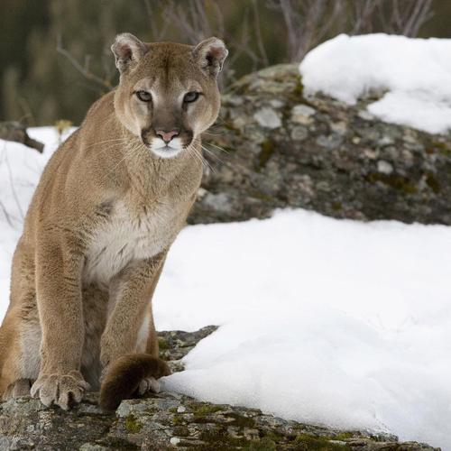 Cougar watching