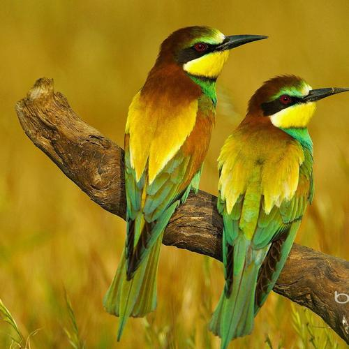 Couple bird : bee-eater wallpaper