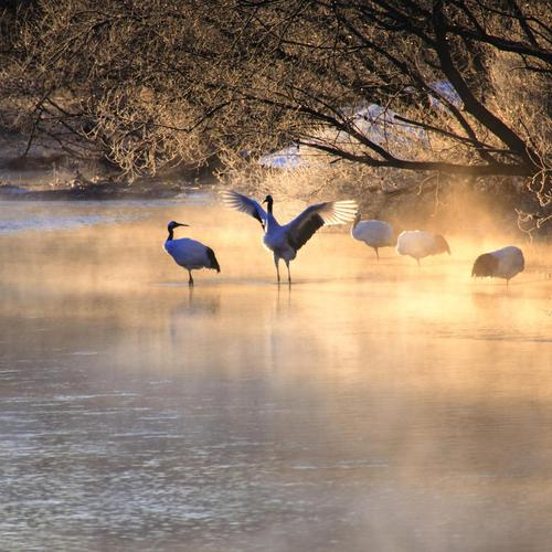 Cranes Bathing In The Morning Mist wallpaper