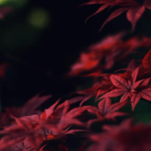 Crimson leaves