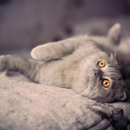 Curiosity grey cat with golden eyes wallpaper