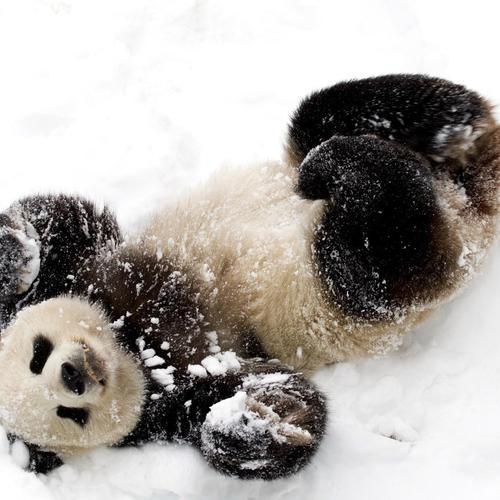 Cute baby panda playing with snow