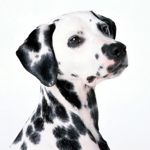 Cute Dalmatian portrait