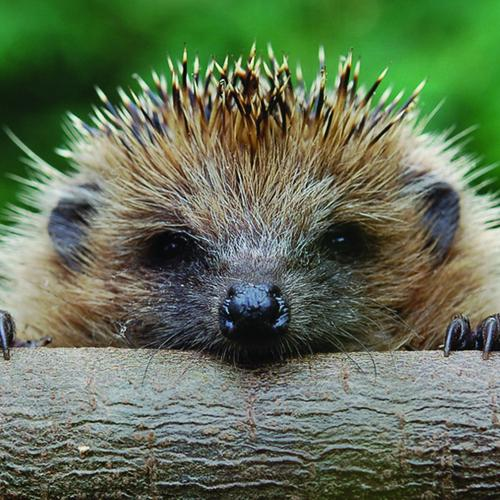 Cute Hedgehog close up