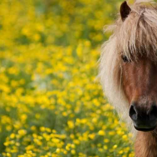 Cute horse with long hair in yellow flower fields