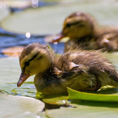 Cute little ducks