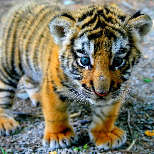 Cute little tiger