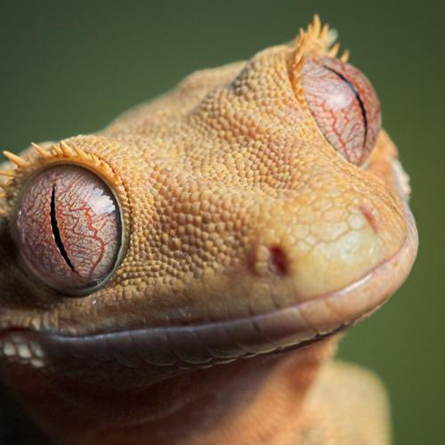 Cute lizard macro wallpaper