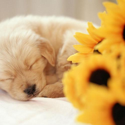 Cute puppy sleeping beside sunflowers