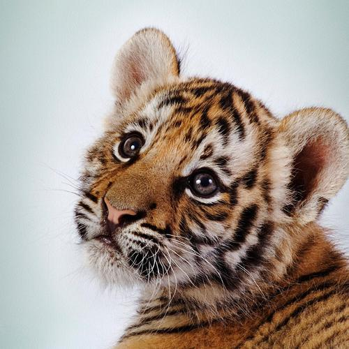 Cutest tiger cub wallpaper
