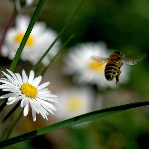 Daisies bee wallpaper