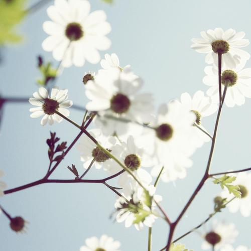 Daisies in the sunlight wallpaper