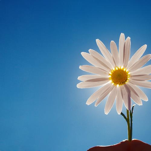 Daisy flower below sunlight wallpaper