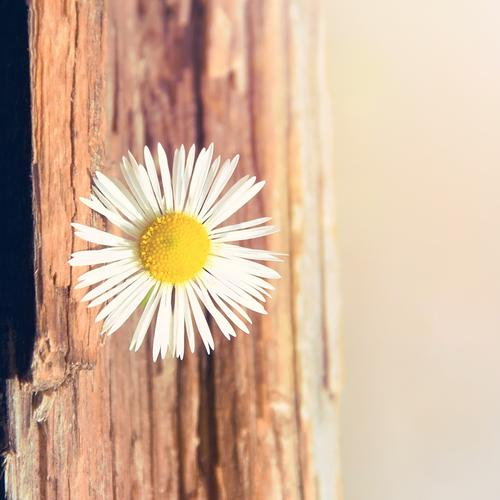 Daisy flower on the wood wallpaper