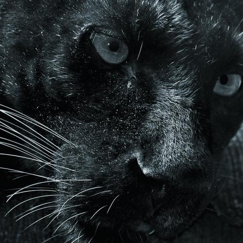 Dangerous Look of black jaguar wallpaper