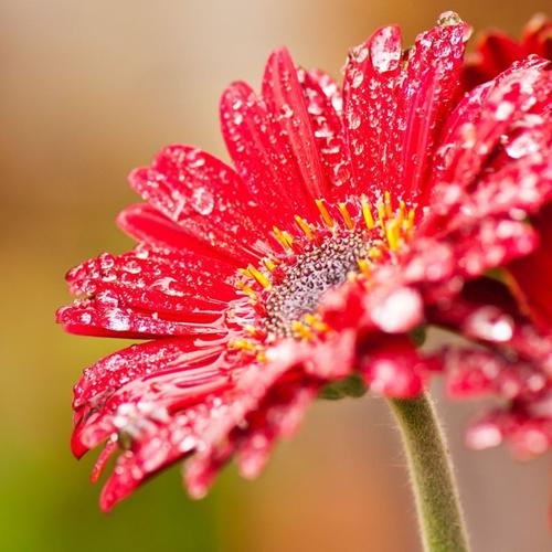 Dew drops on Gerbera Flower