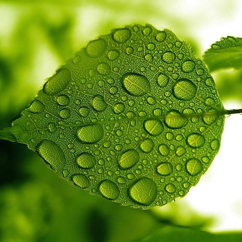 Dewdrops on leaf wallpaper