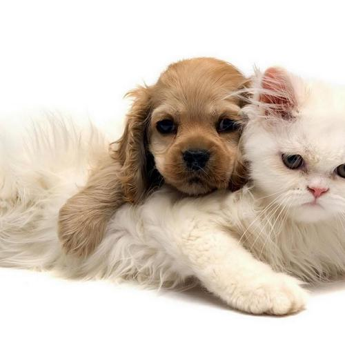 Dog and white cat - friend forever wallpaper