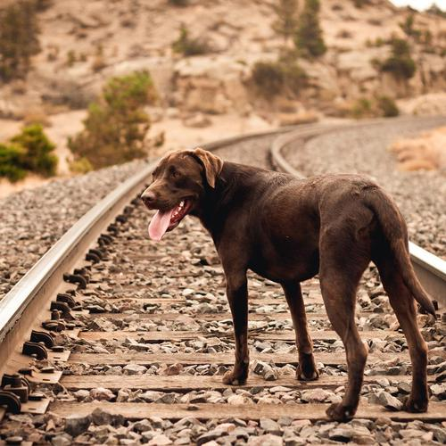 Dog on railway track wallpaper