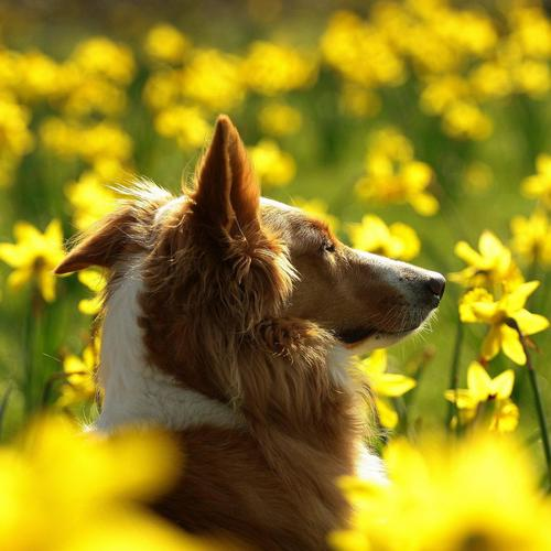 Dog on the yellow meadow