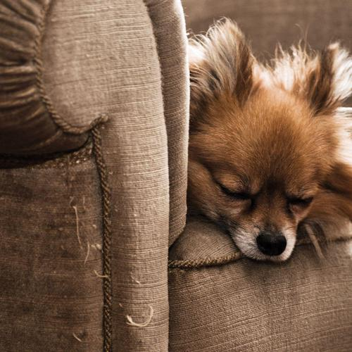 Dog sleeping with armchair wallpaper