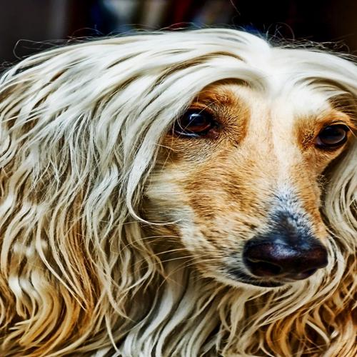 Dog with long hair wallpaper