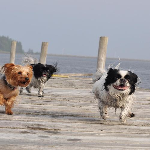 Dogs running on the pier